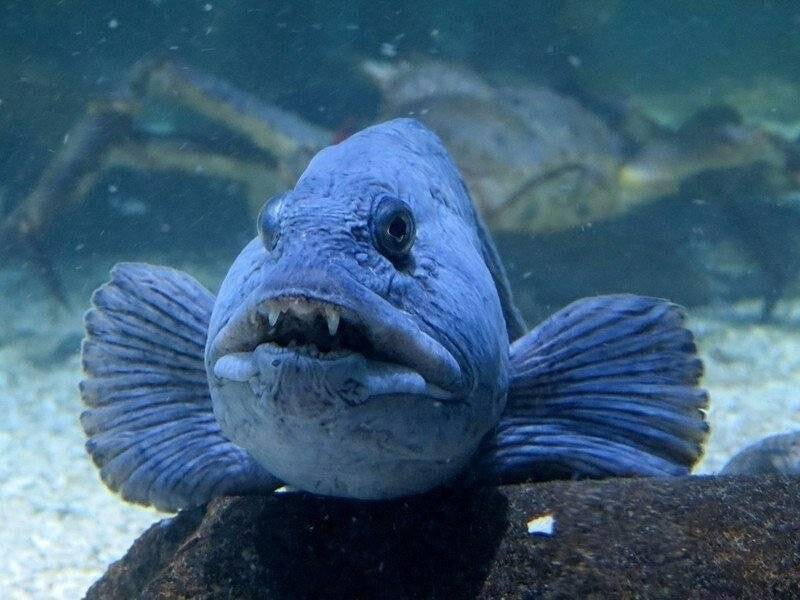 Зубатка – что за рыба?