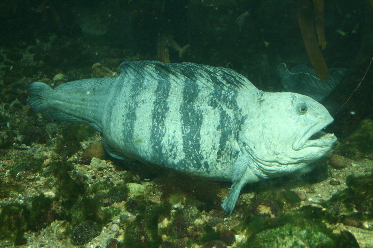 Рыба зубатка: польза и возможный вред   польза и вред