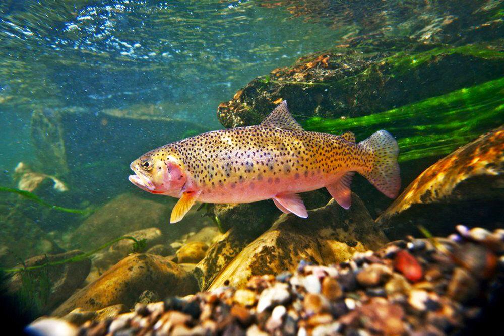 Форель рыба. образ жизни и среда обитания рыбы форель   животный мир