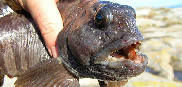 «морской волк» — рыба зубатка, польза и вред