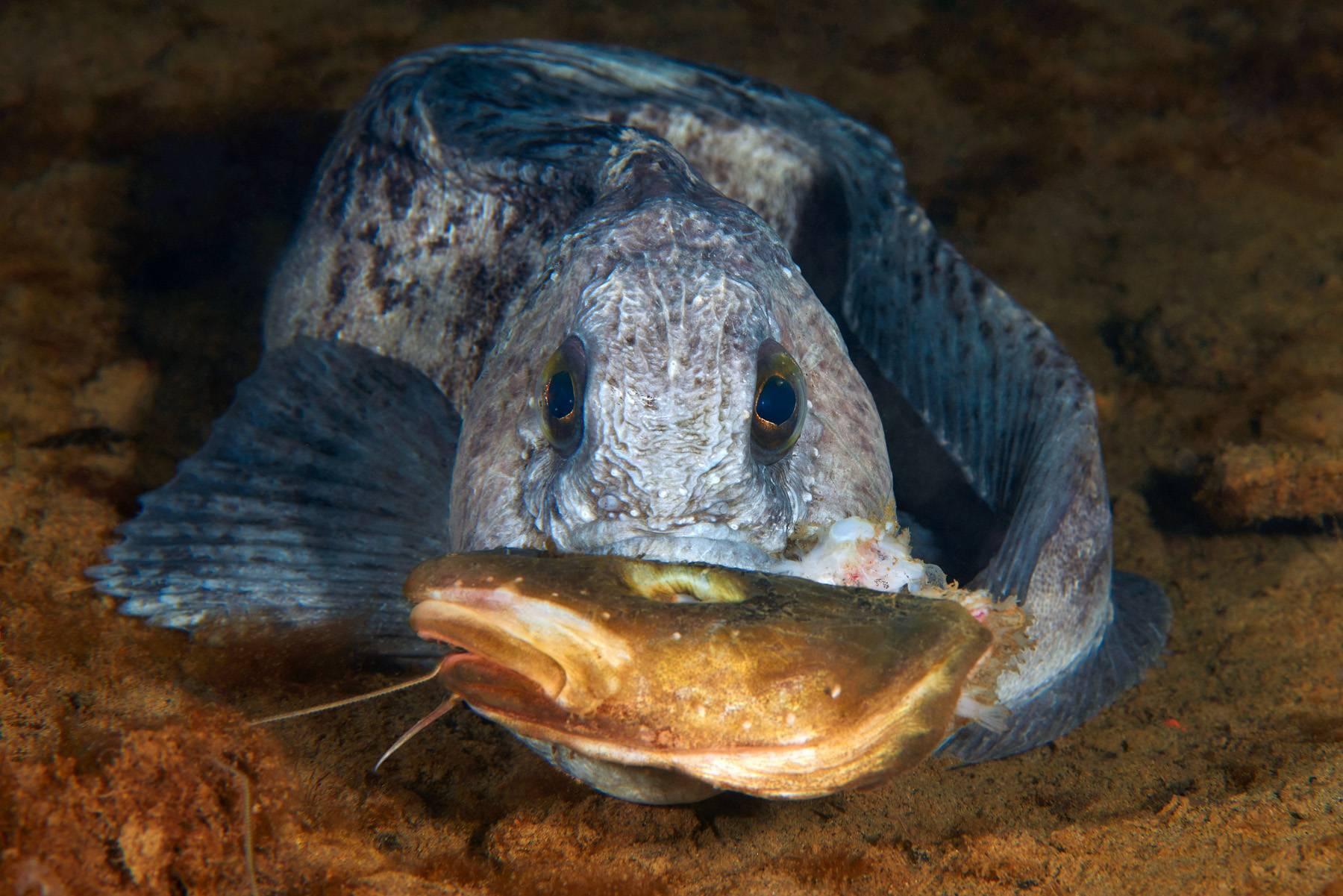 Рыба зубатка  фото, описание, ареал, питание, враги