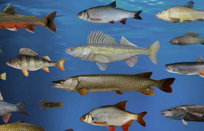 Список рыб пресных вод россии — википедия с видео // wiki 2